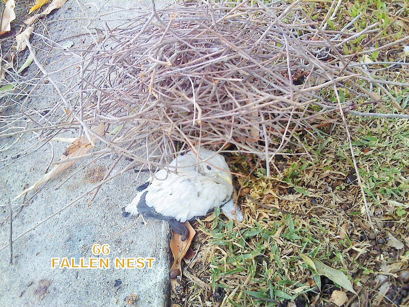 66 chick_fallen_nest_BV_m