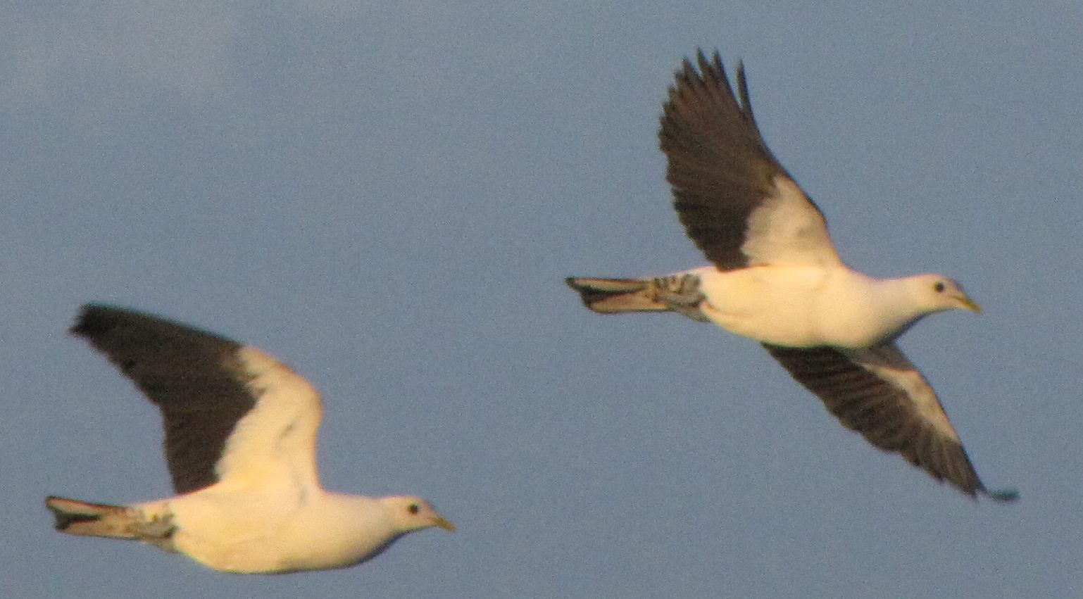 pipwatch_jhazel_Pied/Torresian Imperial Pigeons flying