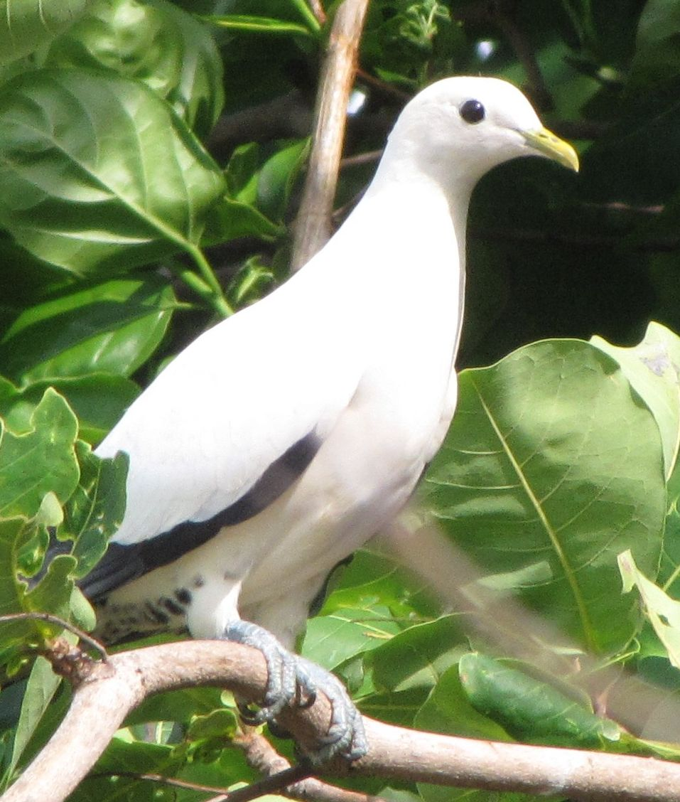 pipwatch_jhazel_Pied/Torresian Imperial Pigeon perched at Low Isles