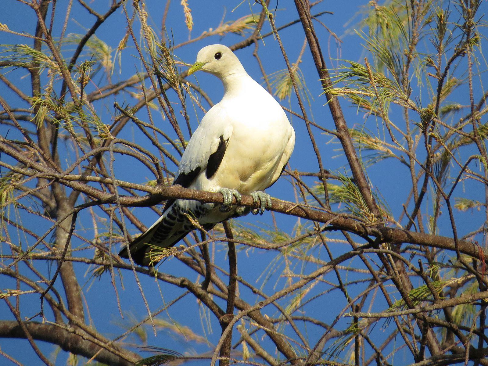 pipwatch_jhazel_Pied/Torresian Imperial Pigeon