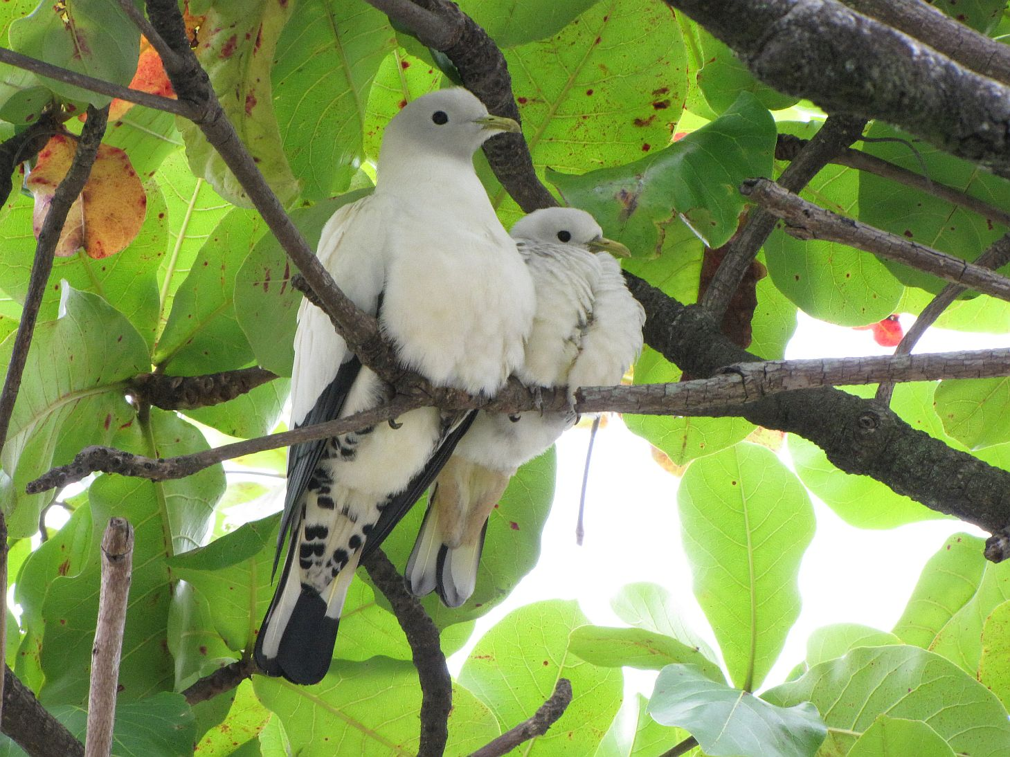 pipwatch_jhazel_Pied/Torresian Imperial Pigeon adult and juvenile nest site