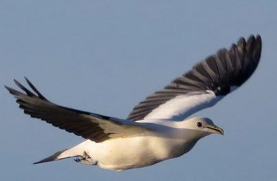 pipwatch_wfox_Pied/Torresian Imperial Pigeon flying