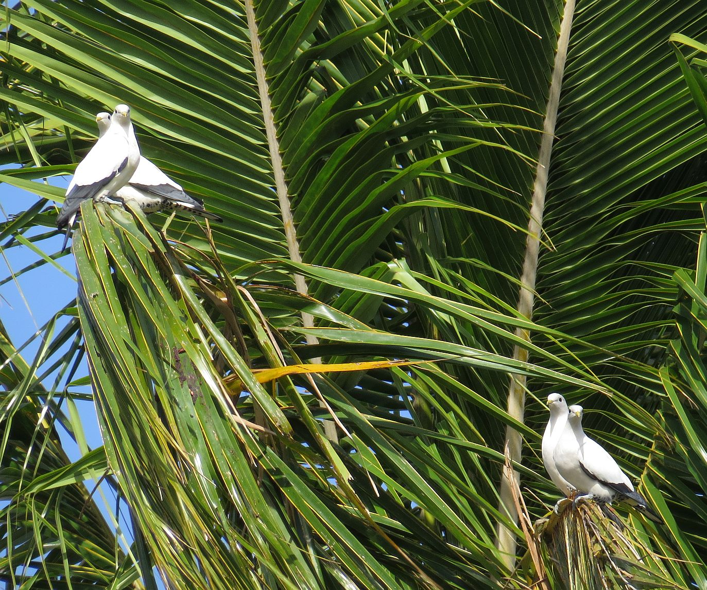 pipwatch_jhazel_Pied/Torresian Imperial Pigeons perched on palm fronds