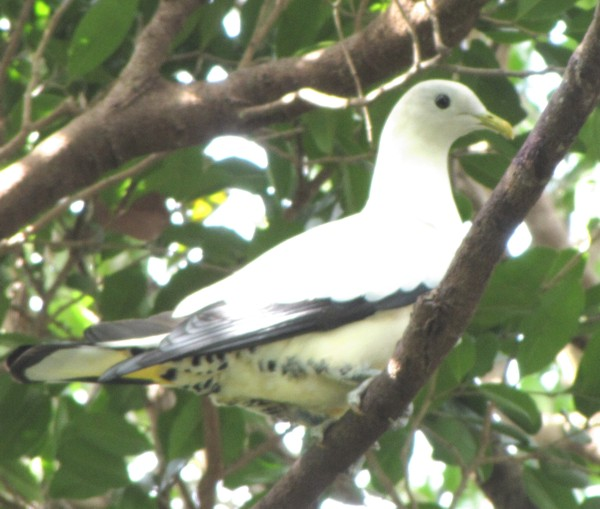 pipwatch_jhazel_Pied/Torresian Imperial Pigeon